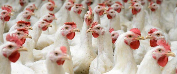 ۲۷ هزار مرغ در انگلیس به دلیل آنفلوآنزای مرغی معدوم شد