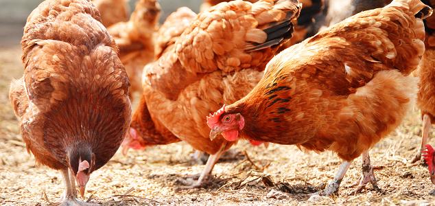 عوامل مؤثر در رشد بازار خوراک ماکیان