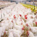 خطر آنفلوانزای پرندگان در کمین مزارع مرغ مادر و تخمگذار