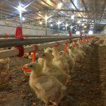 بهینه سازی سیستم گرمایش در سالن های مرغداری