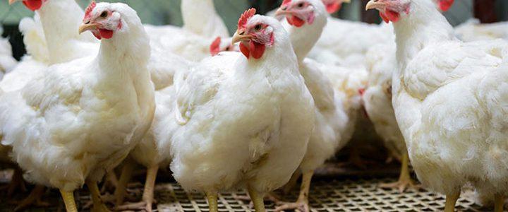 زیان مرغداران تخمگذار سرسام آور است
