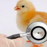 تغذیه و کنترل بیماری کوکسیدیوز