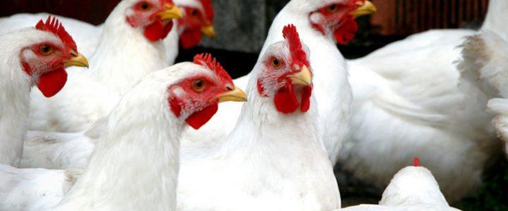 بافت دان و عملکرد مرغ گوشتی