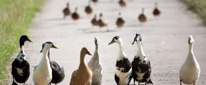 هر آنچه برای پرورش اردک باید بدانید
