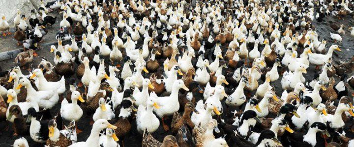 چگونگی ضدعفونی سالن پرورش اردک و غاز