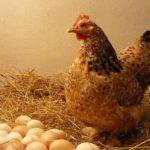 عوامل توقف تخمگذاری طیور