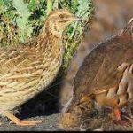 مقایسه ذره بینی بین پرورش کبک و بلدرچین